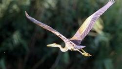 Ağrı Dağı Milli Parkı, ender kuşlardan erguvani balıkçılı ağırladı