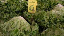 Eskişehir'de marulun fiyatı 10 günde iki katına çıktı