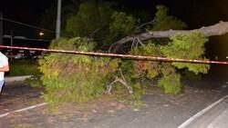 İzmir'de çam ağacı yola devrildi, tramvay telleri zarar gördü