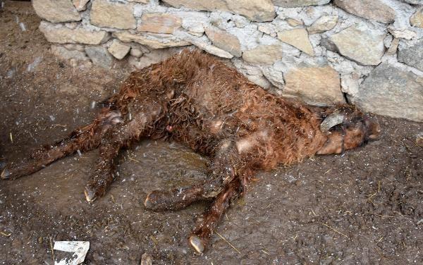Sivas'ta koyun- keçi vebası paniği