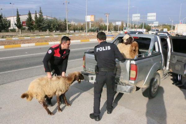 Polis, kamyonetten kaçan koyunları yakaladı
