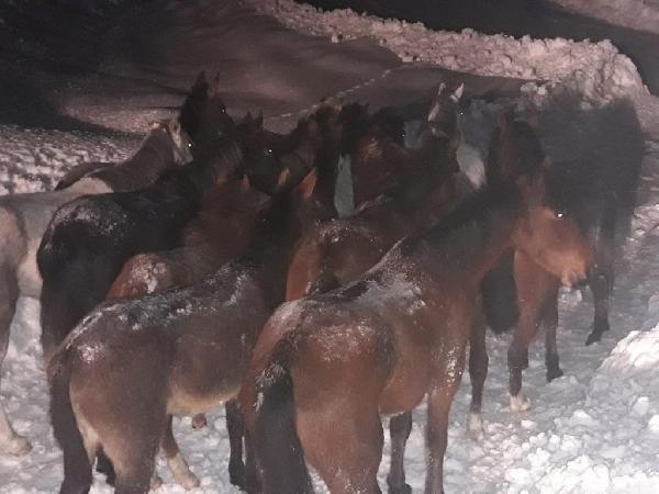 Yaylada mahsur kalan atlar 20 saatte kurtarıldı
