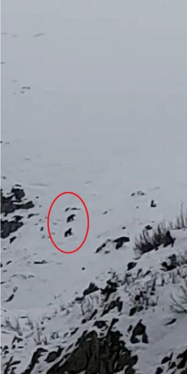 Uludağ'da kış uykusuna yatmayan ayılar görüntülendi
