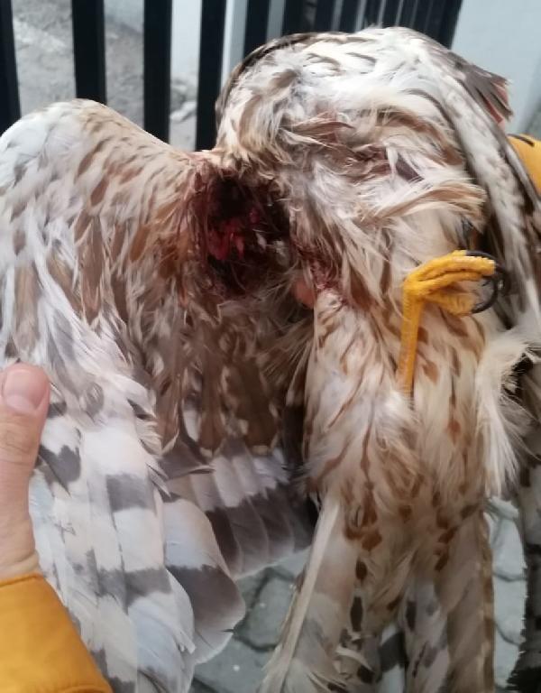 Kaçak avcıların vurduğu doğan donmak üzereyken kurtarıldı