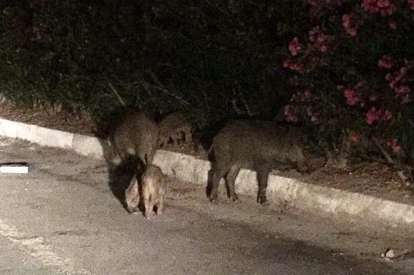 Muğla'da 16 yaşındaki çocuk domuzların saldırısına uğradı