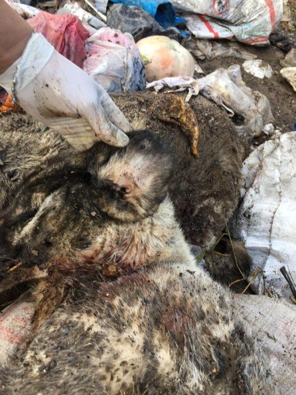 Çöplükte kulakları kesik çok sayıda ölü köpek bulundu