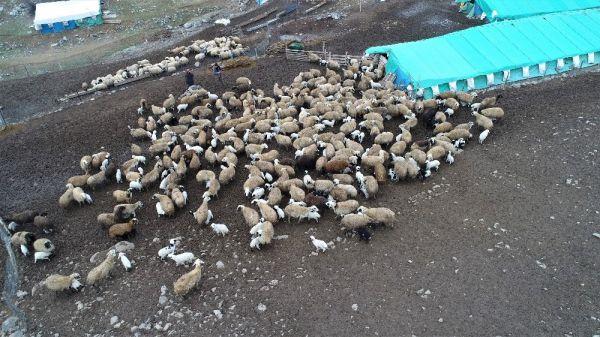 Koyun ve kuzuların buluşma anı
