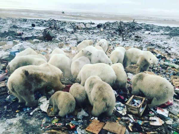 Rusya'da kutup ayıları kente indi