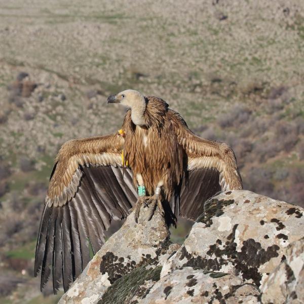 Kahramanmaraş'ta Kızıl Akbaba bulundu
