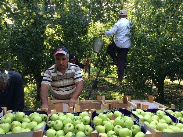 Isparta elması tanzimi başladı