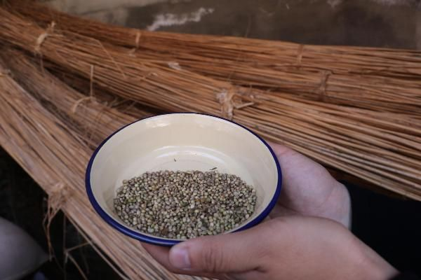 Kenevir tohumu kilo fiyatı 1.000 lira oldu