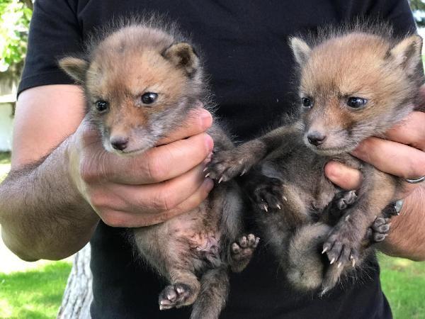 Trafik kazasında ölen tilkinin yavruları korumaya alındı