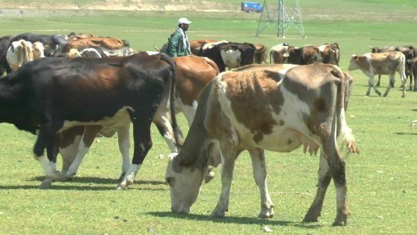 Üniversiteli çoban, hayvanları otlatırken KPSS'ye çalışıyor