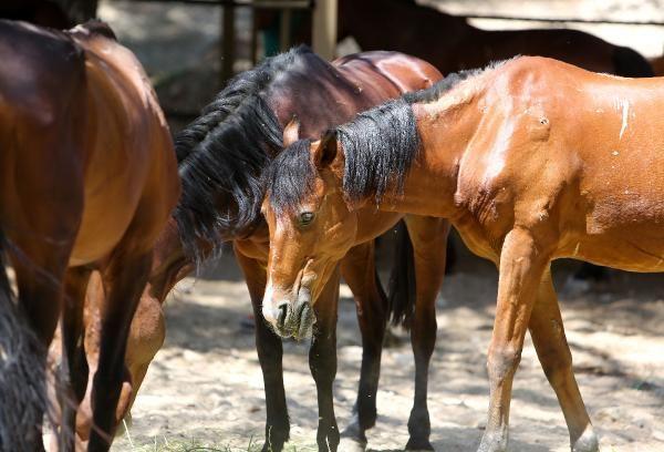 Faytonlardan çekilen atlara özel ilgi