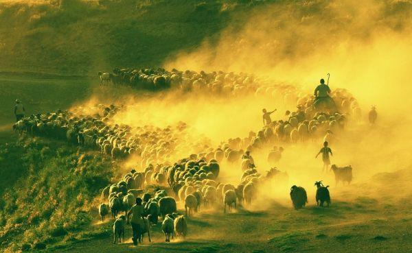 Bitlis'te sürülerin tozlu yolculuğu başladı