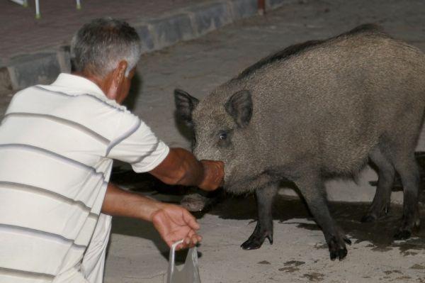 Yaban domuzlarını elleriyle besliyor
