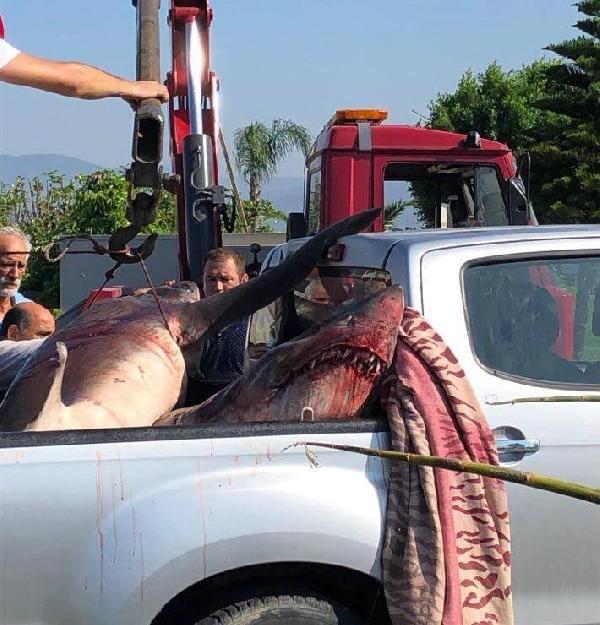 Yakalanan köpek balıkları araştırmada kullanılacak