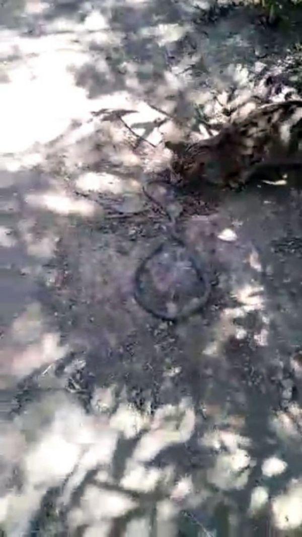Hakkari'de kedinin yılanla oyunu kamerada
