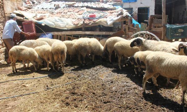 İzmir'de 25 koçun vebadan öldüğü belirlendi
