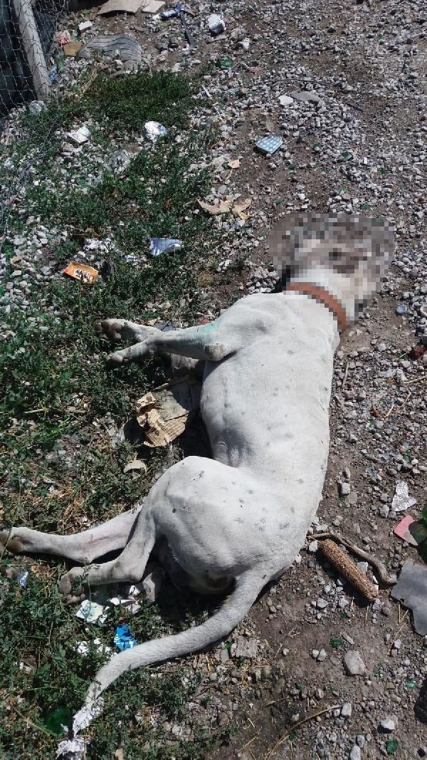 Ankara'da, boş araziye bırakılan etleri yiyerek zehirlendikleri iddia edilen 3 köpek öldü. ile ilgili görsel sonucu