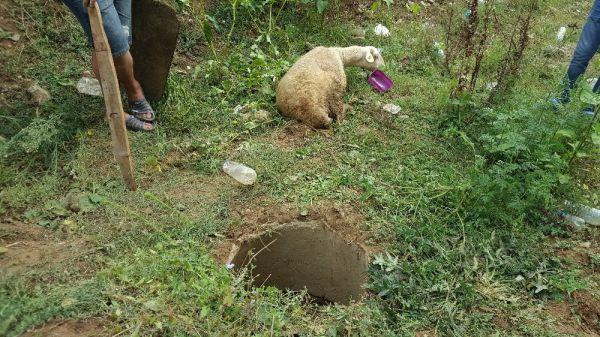 Düzce'de kaçan kurbanlık koyun kuyudan çıktı