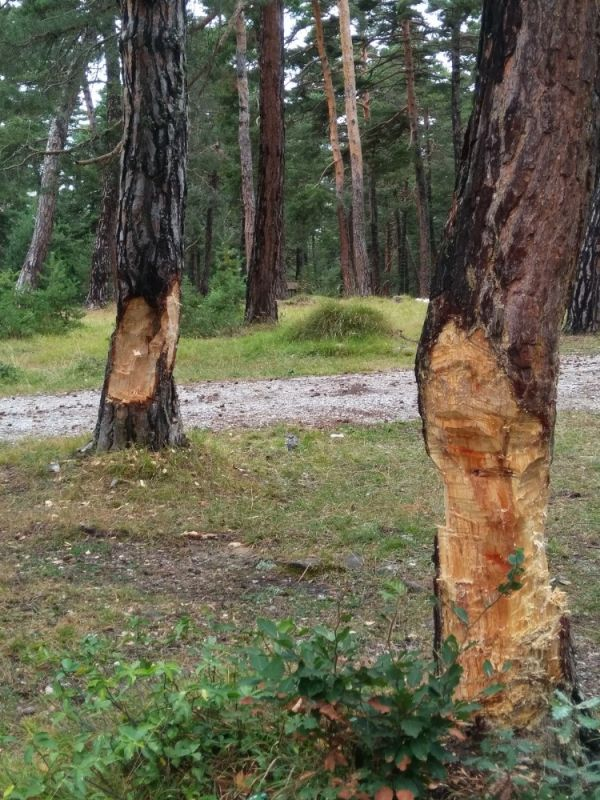 Sinop'ta piknik yapan vatandaşlar ağaçlara zarar verdi