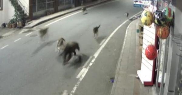 Rize'de köpekler bir olup yavru ayıyı kovaladılar