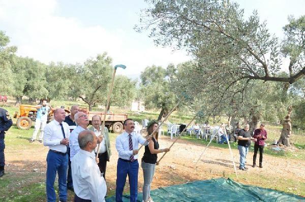 3 bin 200 yıllık zeytin ağacının hasadı yapıldı