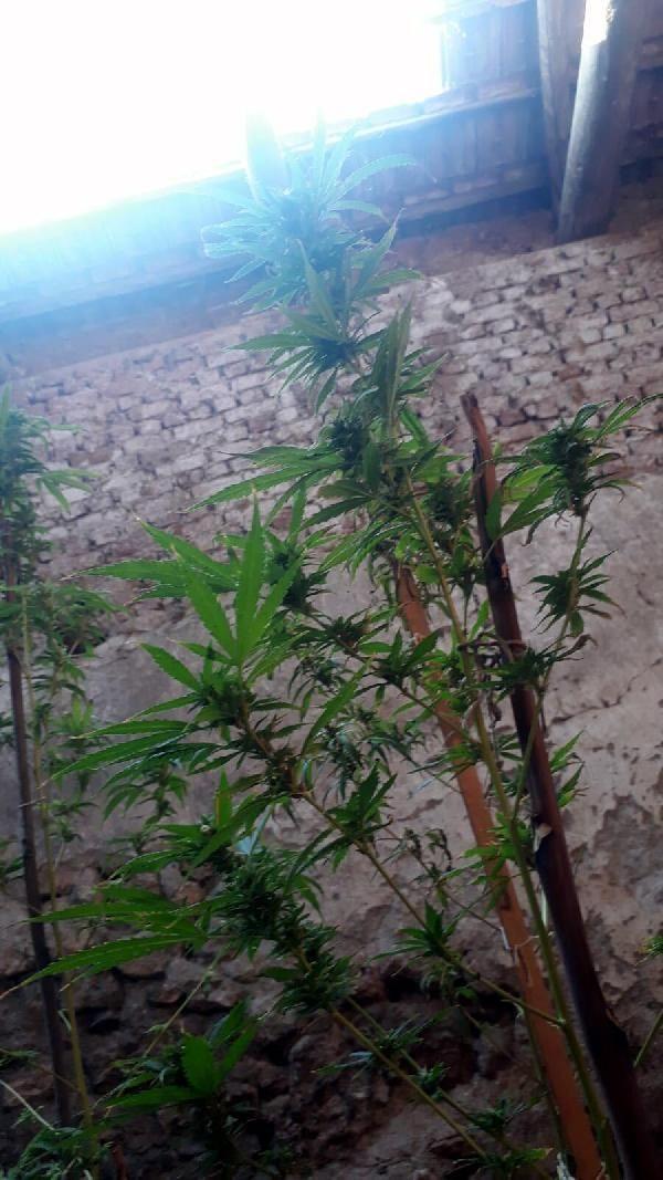 Kenevir yetiştirmek için deponun çatısına havalandırma boşluğu açmış -1