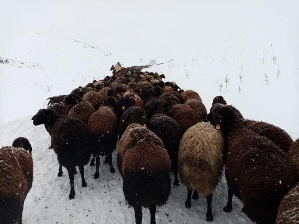 Karlıova'da mahsur kalan 2 bin 500 koyun kurtarıldı -6
