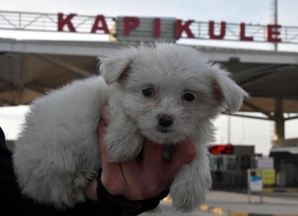 Kapıkule'de 14 yavru köpek ele geçirildi -6