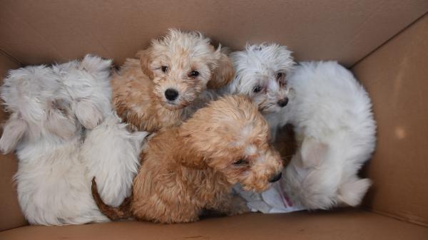 Kapıkule'de 14 yavru köpek ele geçirildi -2