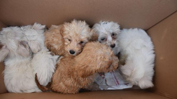 Kapıkule'de 14 yavru köpek ele geçirildi -1