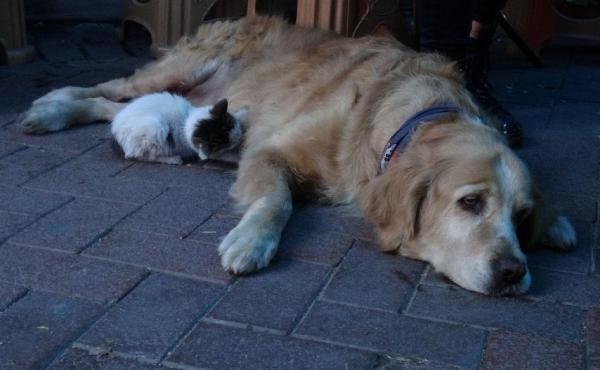 Annesinin dışladığı yavru kediyi, 'Tarçın' köpek sahiplendi -2