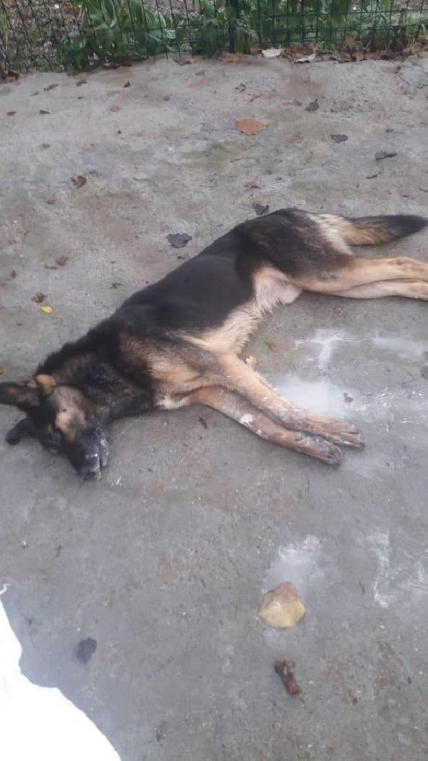 Bartın'da 6 köpek ölü bulundu -5
