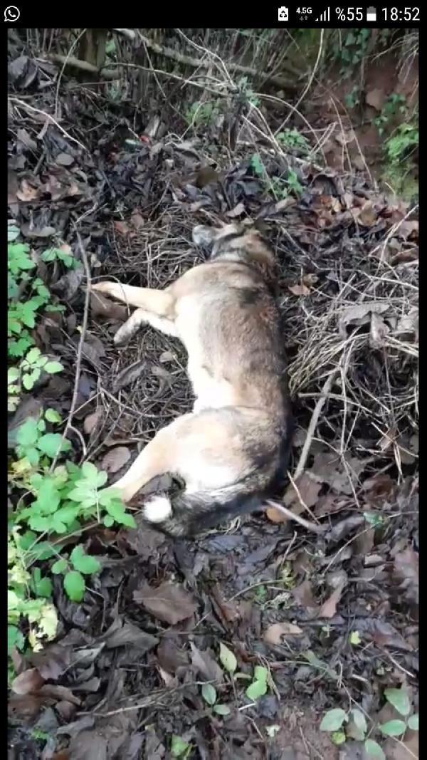 Bartın'da 6 köpek ölü bulundu -3