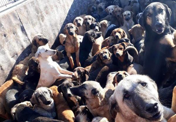 Kamyonla Mersin'e getirilen köpekler, Alanya'ya geri gönderildi -1