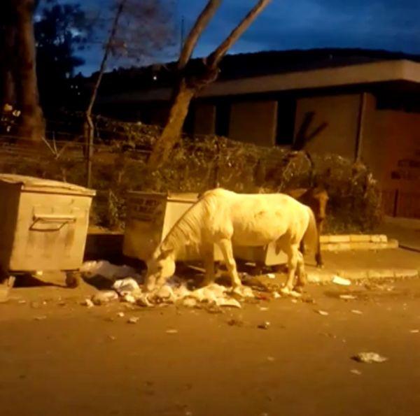 Büyükada'da çöpte yemek arayan atlar yürekleri sızlattı -1