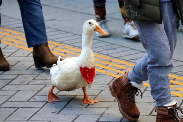 Caddede sahibinin arkasından yürüyen ördek, ilgi odağı oldu -3