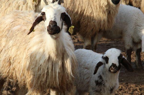 Elazığ'da kuzuların anneleriyle buluşması