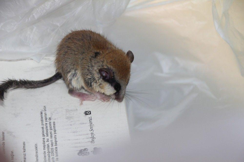 Kütahya'da 'Ağaç Yediuyuru' kedinin ağzından kurtarıldı #2