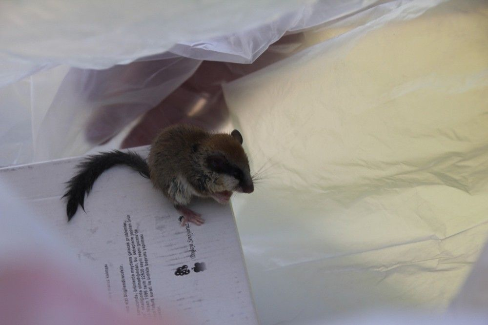 Kütahya'da 'Ağaç Yediuyuru' kedinin ağzından kurtarıldı #4