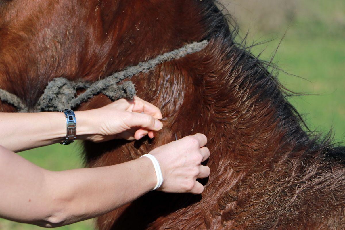 Adana da kaçak kesimler, at, eşek ve katırlara çip takılarak önlenecek #9