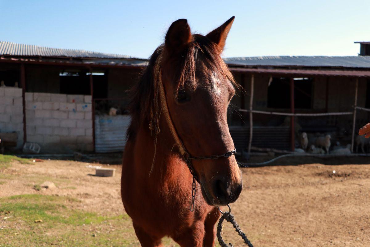 Adana da kaçak kesimler, at, eşek ve katırlara çip takılarak önlenecek #1