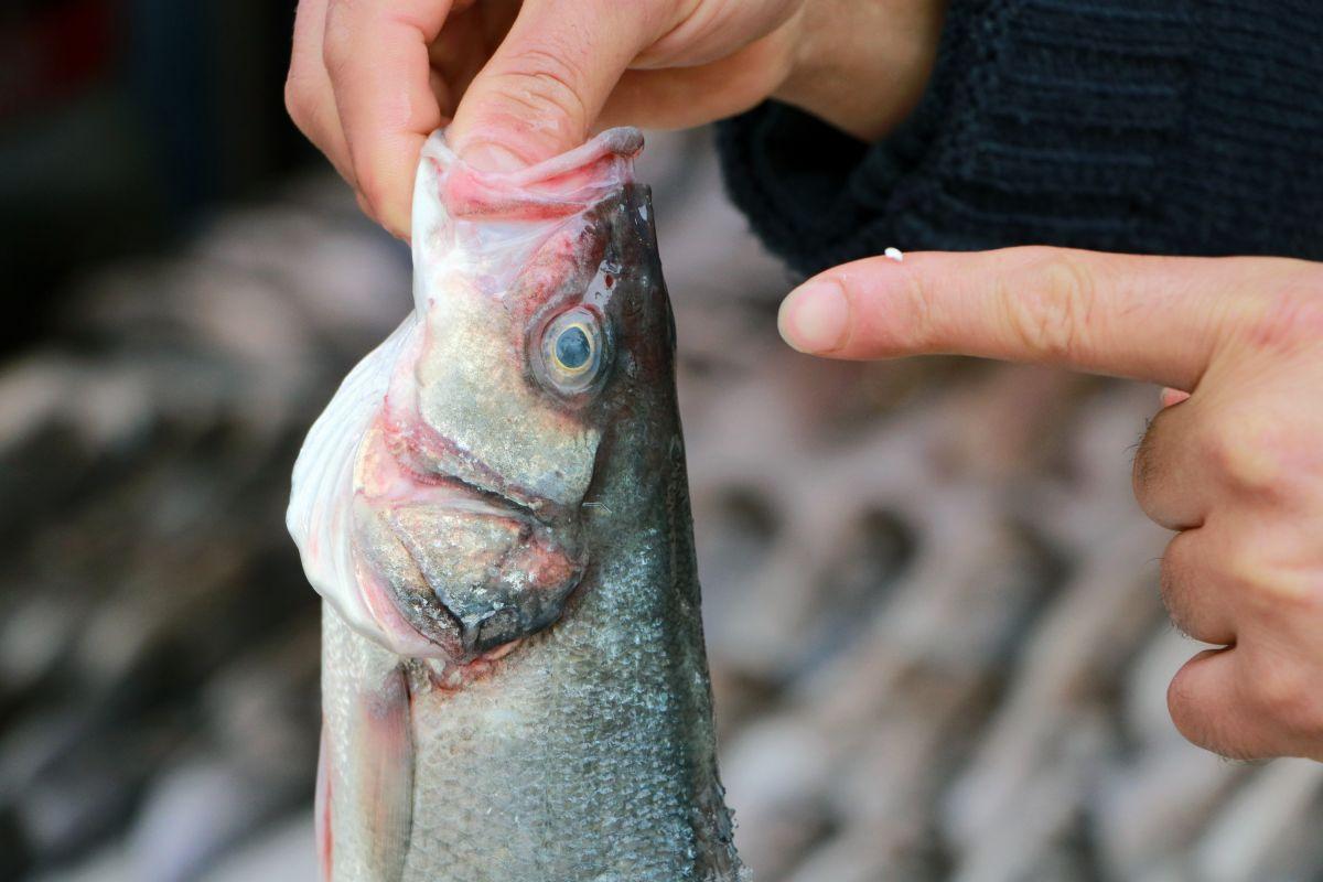 Adana'da balıkçılar, bayat balık hilelerini anlattı
