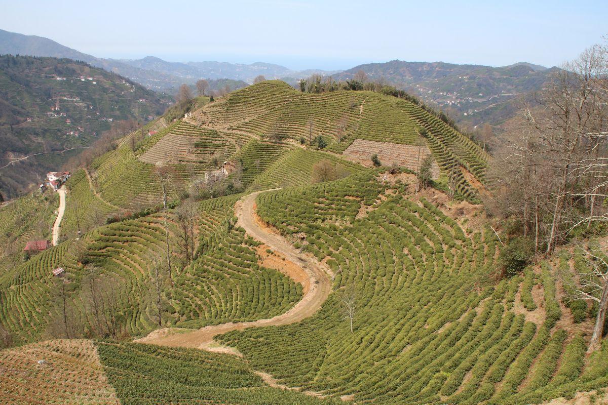 Doğu Karadeniz'de çay üreticilerine kısıtlama muafiyeti #1