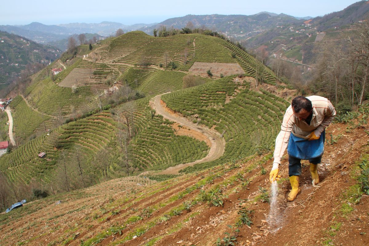 Doğu Karadeniz'de çay üreticilerine kısıtlama muafiyeti #5