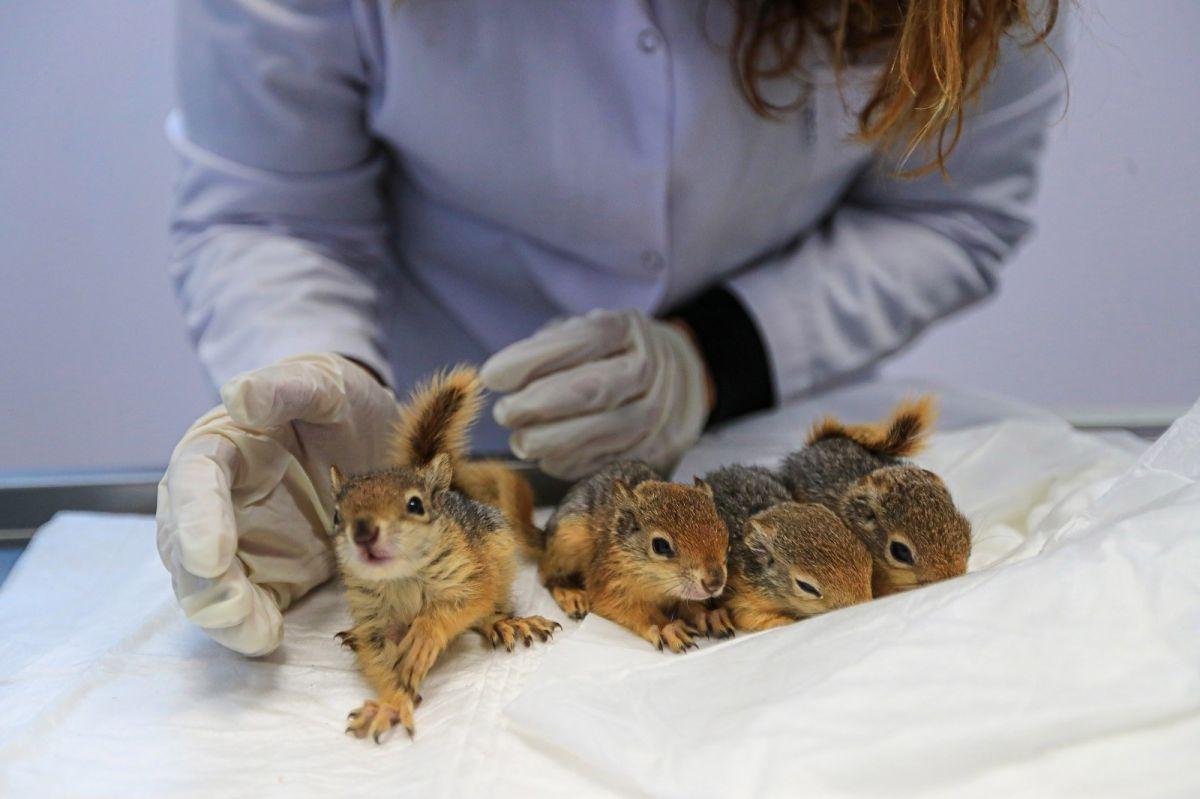 Denizli de ölmek üzereyken bulunan yavru sincaplar hayata tutundu #3