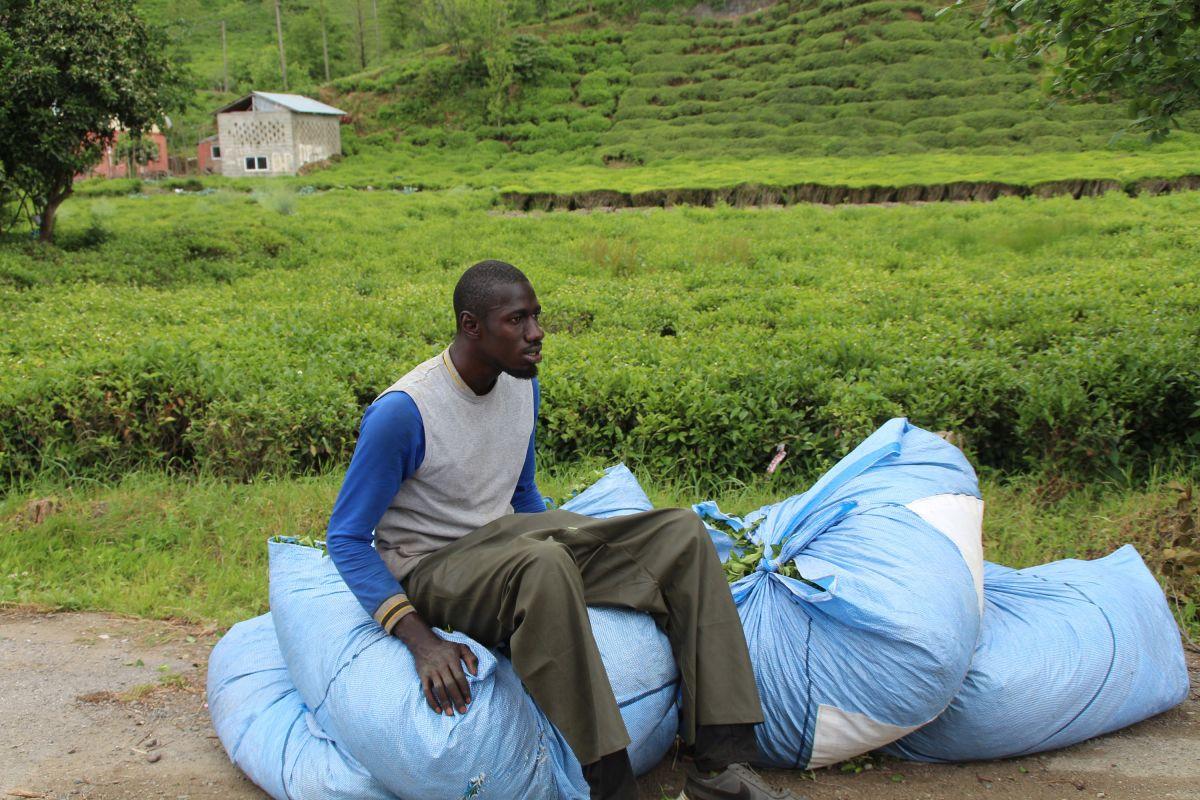 Rize de Afrikalı işçiler, bu yıl da çay topluyor #8