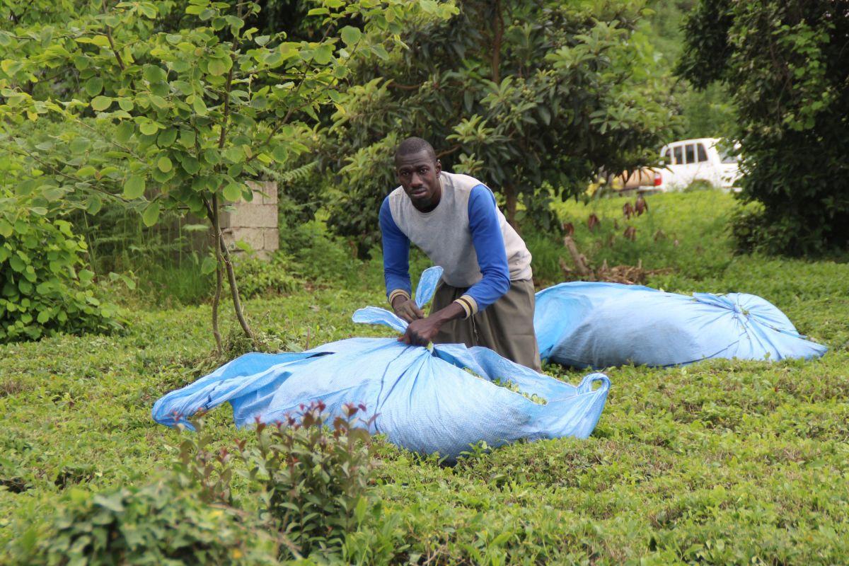 Rize de Afrikalı işçiler, bu yıl da çay topluyor #6